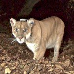 The Battle to Save The Big Cats of The Santa Monica Mountains