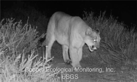 P22 Mountain Lion in Griffith Park