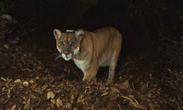 The Cougar Next Door: Living With Urban Wildlife