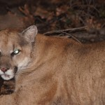 Mountain Lion Gets Reprieve. What's Next For Santa Monica Mountain's Big Cats?